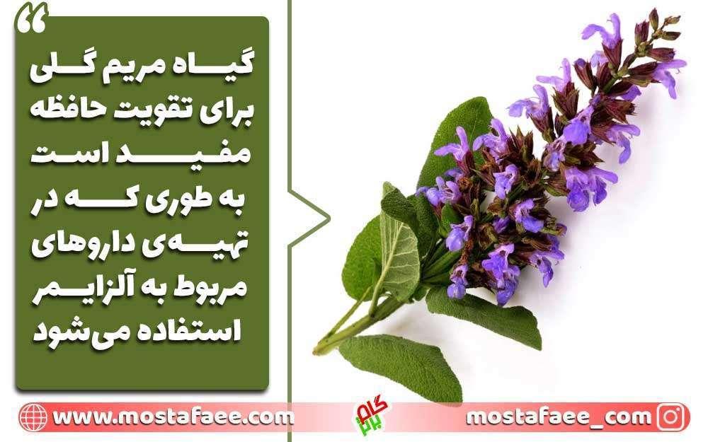 برای تقویت حافظه چه بخوریم؟ گیاه مربم گلی برای حافظه مفید است